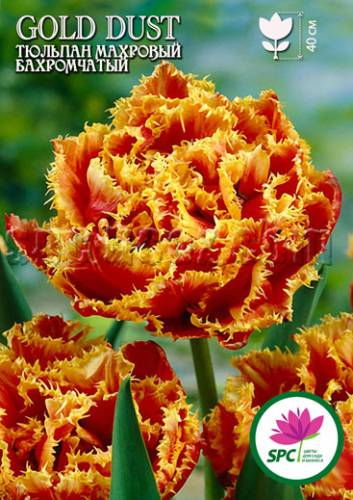 270d57ae6346 Махровый, лососево-алый тюльпан с желтой бахромой -